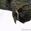 Brown Creeper <br /> Bridgeton, Mo. <br /> 2/8/2012