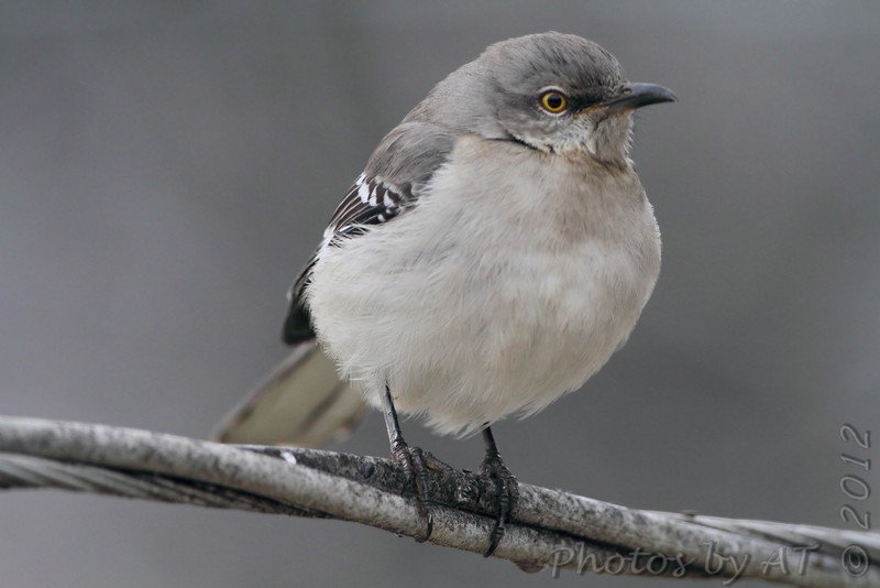 Northern Mockingbird <br /> Bridgeton, Mo. <br /> 2/8/2012