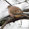 Mourning Dove <br /> Bridgeton, Mo. <br /> 2/8/2012