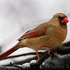 Northern Cardinal  <br /> Bridgeton, Mo. <br /> 2/8/2012
