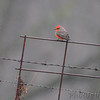 Vermilion Flycatcher <br /> Perry County <br /> <br /> No. 312 on my Lifetime List of Birds <br /> Photographed in Missouri
