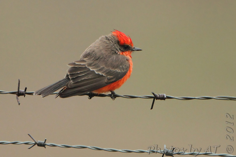 Vermilion Flycatcher <br /> Perry County