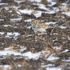 Lapland Longspur <br /> Confluence Road <br /> Riverlands Migratory Bird Sanctuary