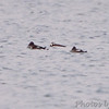 Long-tailed Duck <br /> and Common Goldeneye females <br /> Ellis Bay <br /> Riverlands Migratory Bird Sanctuary