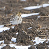 Savannah Sparrow <br /> Confluence Road <br /> Riverlands Migratory Bird Sanctuary