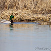 Mallards<br /> Columbia Bottom Conservation Area