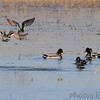 Northern Pintails and Mallards<br /> Columbia Bottom Conservation Area