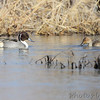 Northern Pintail <br /> Columbia Bottom Conservation Area