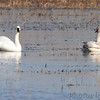 Trumpeter Swans <br /> Columbia Bottom Conservation Area