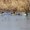 Northern Pintail, Mallards and Northern Shovelers <br /> Columbia Bottom Conservation Area
