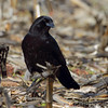 American Crow <br /> Columbia Bottom Conservation Area