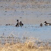 Northern Pintails and Northern Shovels <br /> Columbia Bottom Conservation Area