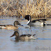 Northern Shoveler and Northern Pintail <br /> Columbia Bottom Conservation Area