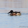 Northern Shoveler <br /> Columbia Bottom Conservation Area