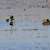 Mallards and Northern Pintails <br /> Columbia Bottom Conservation Area