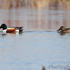 Northern Shovelers <br /> Columbia Bottom Conservation Area