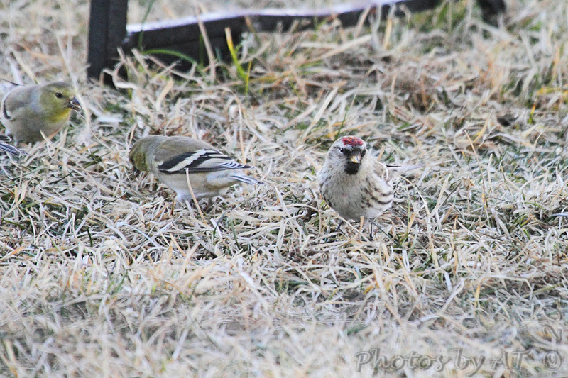Common Redpoll <br /> and American Goldfinches <br /> at feeders behind Audubon Center <br /> Riverlands Migratory Bird Sanctuary