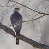 Cooper's Hawk <br /> Bridgeton, Mo. <br /> 1/30/2012