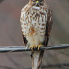 Red-shouldered Hawk <br /> Taken out my kitchen window <br /> Bridgeton, Mo. <br /> 1/23/2012