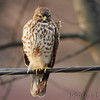 Red-shouldered Hawk <br /> Taken out my bathroom window <br /> Bridgeton, Mo. <br /> 1/23/2012