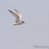 Least Tern <br /> Heron Pond <br /> Riverlands Migratory Bird Sanctuary