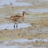 Wilson's Phalarope <br /> Heron Pond <br /> Riverlands Migratory Bird Sanctuary