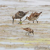 Stilt Sandpiper and Wilson's Phalarope <br /> and Least Sandpipers <br /> Heron Pond <br /> Riverlands Migratory Bird Sanctuary