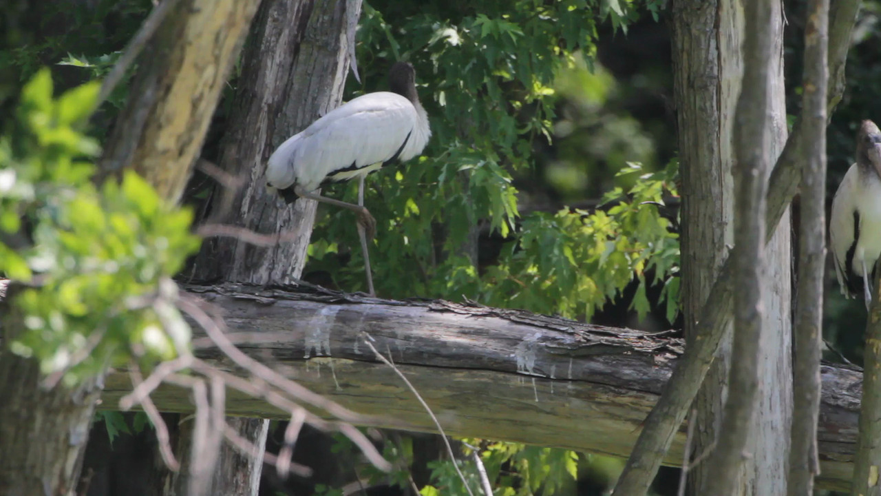 "Wood Stork (juvenile)  <br> Swan Lake National Wildlife Refuge <br><br><span class=""noShowSmart""> <a href=""/MyKeywords/Bird-Videos/n-gF9bt/i-TmqBPnt/A""> <span style=""color:yellow"">Click here to open video in lightbox/full screen</span></a> </span>  <span class=""noShowGallery""> <a href=""/Birds/Birding-2012-July/2012-07-11-Swan-Lake/i-dbcWtKq/A""> <span style=""color:yellow"">Click here to open video in lightbox/full screen</span></a> </span>"