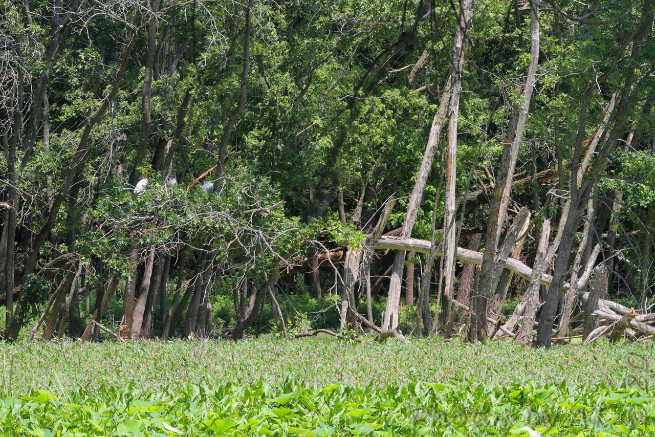 Wood Stork (juvenile) <br /> Swan Lake National Wildlife Refuge
