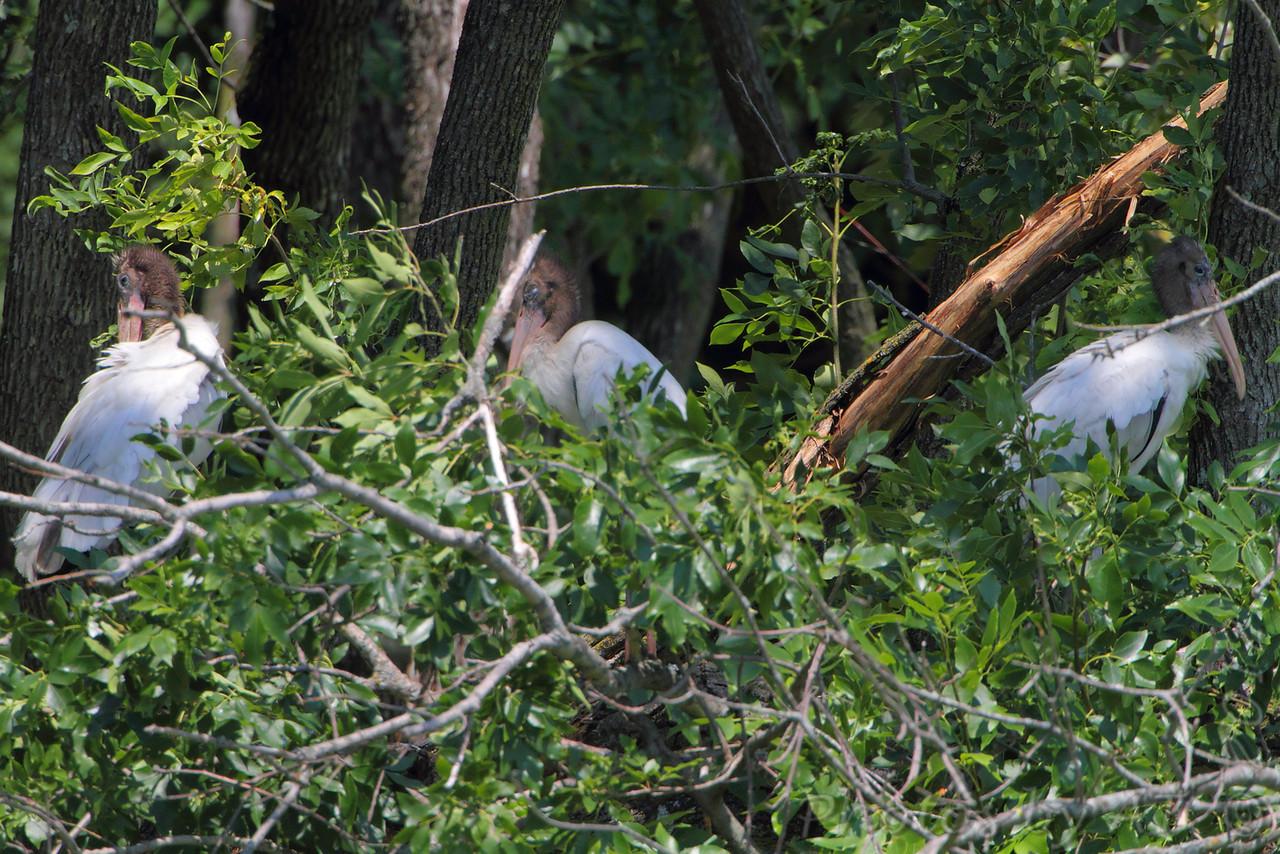 Wood Storks (juvenile) <br /> Swan Lake National Wildlife Refuge