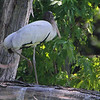 Wood Stork (juvenile) <br /> Swan Lake National Wildlife Refuge