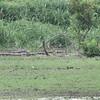 Upland Sandpiper <br /> SE corner of Heron Pond <br /> taken from Riverlands Way parking lot 1/3 mile away <br /> Riverlands Migratory Bird Sanctuary