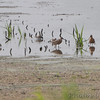 Dowitcher sp. <br /> Heron Pond <br /> Riverlands Migratory Bird Sanctuary