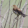 Dickcissel <br /> Heron Pond <br /> Riverlands Migratory Bird Sanctuary