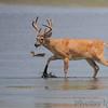 Whitetail Deer <br /> Heron Pond <br /> Riverlands Migratory Bird Sanctuary