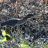 Green Heron <br /> Clarence Cannon National Wildlife Refuge