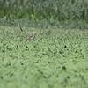 Upland Sandpiper <br /> Clarence Cannon National Wildlife Refuge