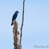 Indigo Bunting <br /> Clarence Canon National Wildlife Refuge