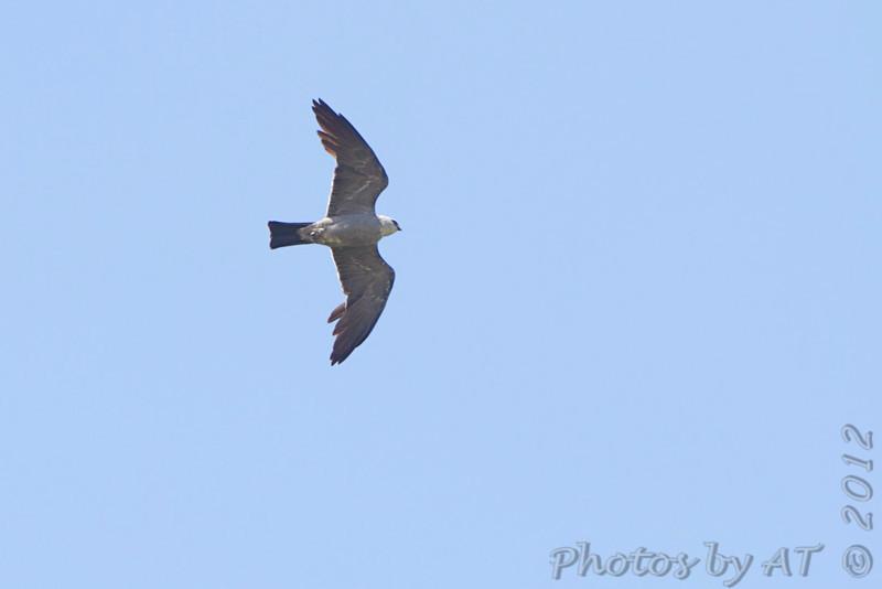 Mississippi Kite <br /> Clarence Canon National Wildlife Refuge
