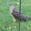 Coopers Hawk <br /> City of Bridgeton <br /> St. Louis County, Missouri <br /> 7/14/2012