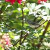 Blue-gray Gnatcatcher <br /> City of Bridgeton <br /> St. Louis County, Missouri <br /> 7/21/2012
