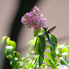 Ruby-throated Hummingbird <br /> City of Bridgeton <br /> St. Louis County, Missouri <br /> 7/21/2012