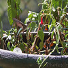 Ruby-throated Hummingbird <br /> City of Bridgeton <br /> St. Louis County, Missouri <br /> 7/21/2012