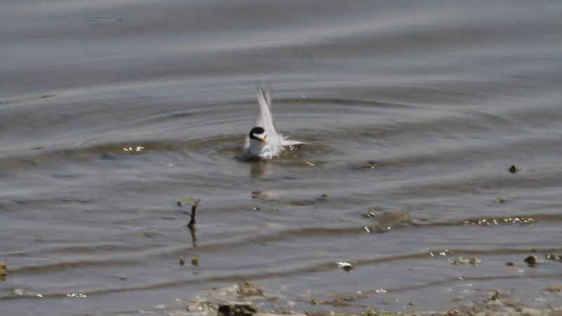 """Least Tern  <br> Riverlands Migratory Bird Sanctuary <br><br><span class=""""noShowSmart""""> <a href=""""/MyKeywords/Bird-Videos/n-gF9bt/i-Grq4q6z/A""""> <span style=""""color:yellow"""">Click here to open video in lightbox/full screen</span></a> </span>  <span class=""""noShowGallery""""> <a href=""""/Birds/Birding-2012-June/2012-06-04-RMBS/i-Grq4q6z/A""""> <span style=""""color:yellow"""">Click here to open video in lightbox/full screen</span></a> </span>"""