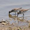 White-rumped Sandpiper <br /> Riverlands Migratory Bird Sanctuary
