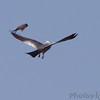 Eastern Kingbird attacking Mississippi Kite <br /> Pike County, Missouri