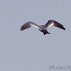 Mississippi Kite <br /> Pike County, Missouri