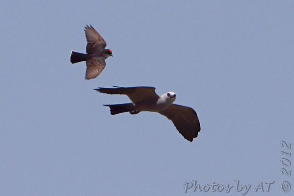 Eastern Kingbird attacking Mississippi Kite  Pike County, Missouri