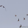 Mississippi Kite <br /> spooking up the White-rumped Sandpipers <br /> Pike County, Missouri