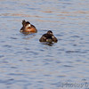Ruddy Ducks <br /> Lincoln Shields Area <br /> Riverlands Migratory Bird Sanctuary